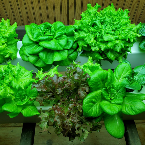 Photo: DIY Hydroponic Lettuce System